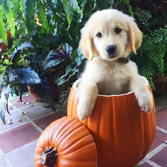 Our Best Instagrams puppy in a pumpkin