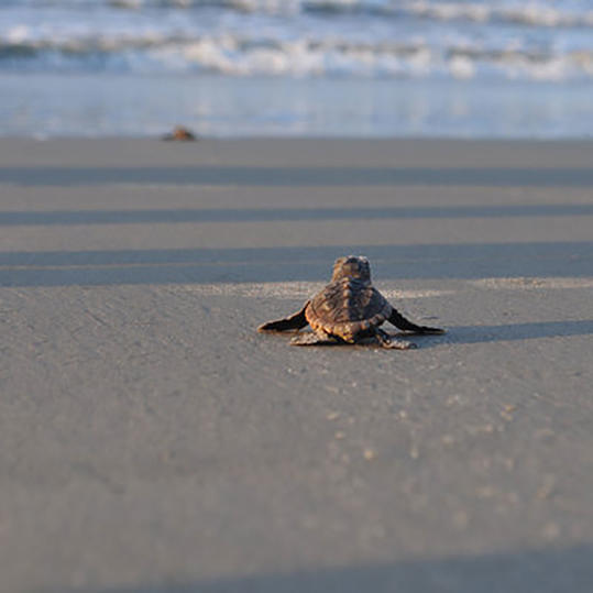 Best places to see sea turtle hatchlings southern living baby sea turtle walking on sand publicscrutiny Gallery