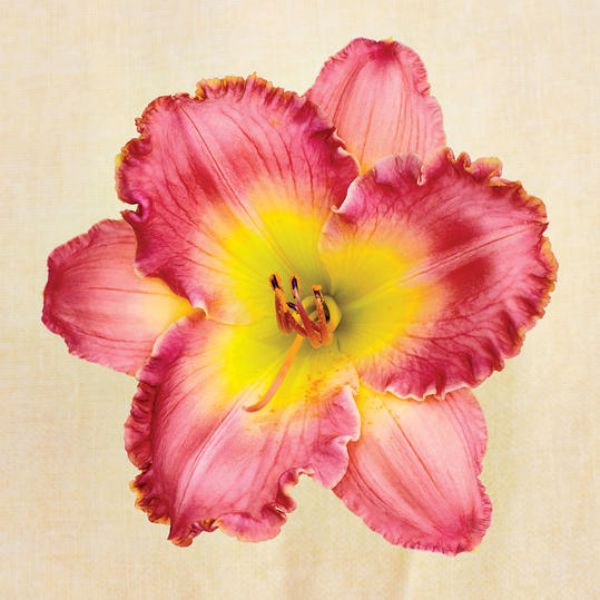 Chance Encounter Daylily