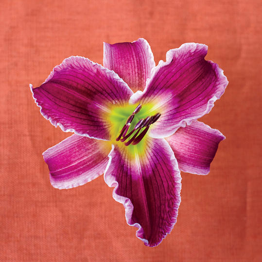 Indian Giver Daylily