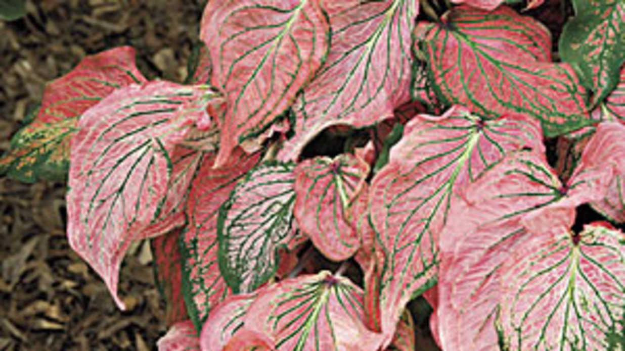 Colorful Caladium