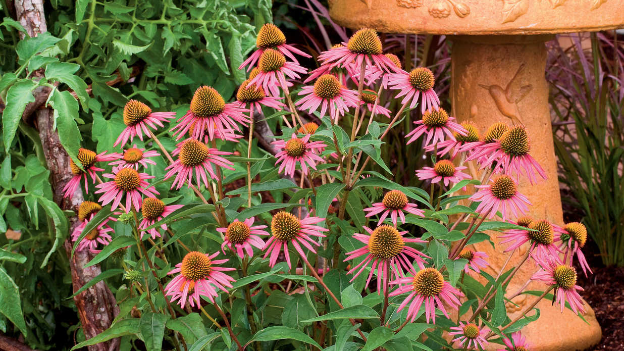 """Pica Bella"" Purple Coneflower"