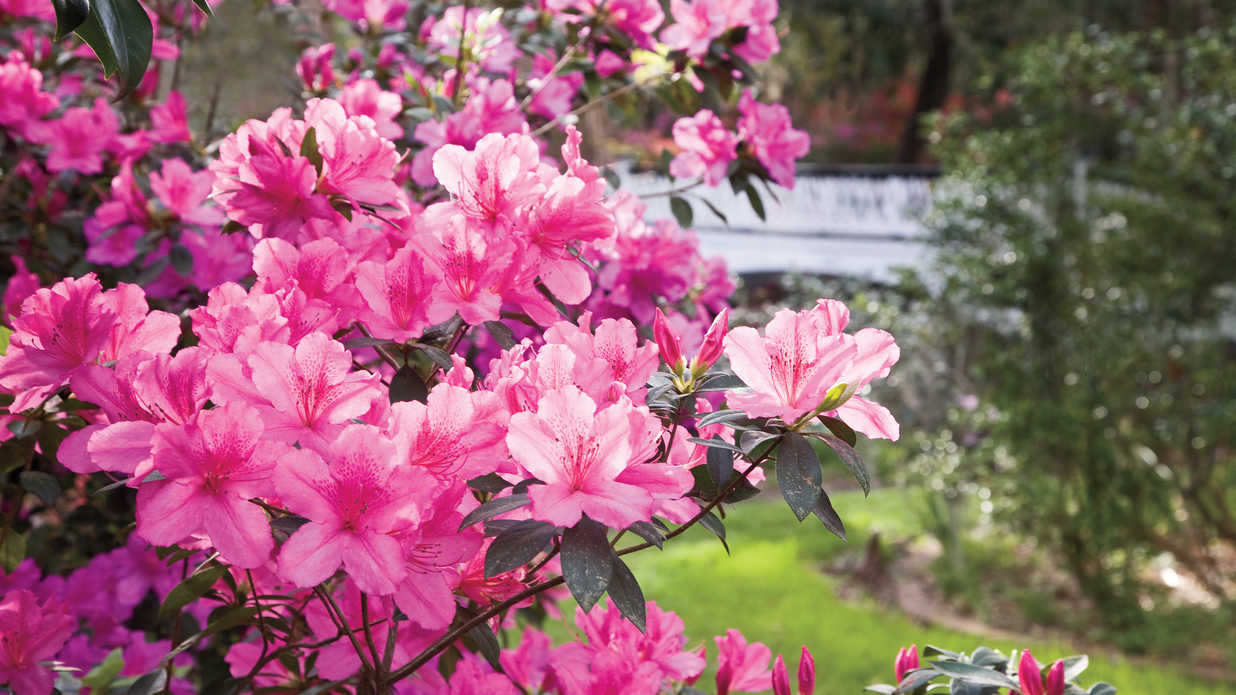 The complete guide to azaleas southern living for The azalea