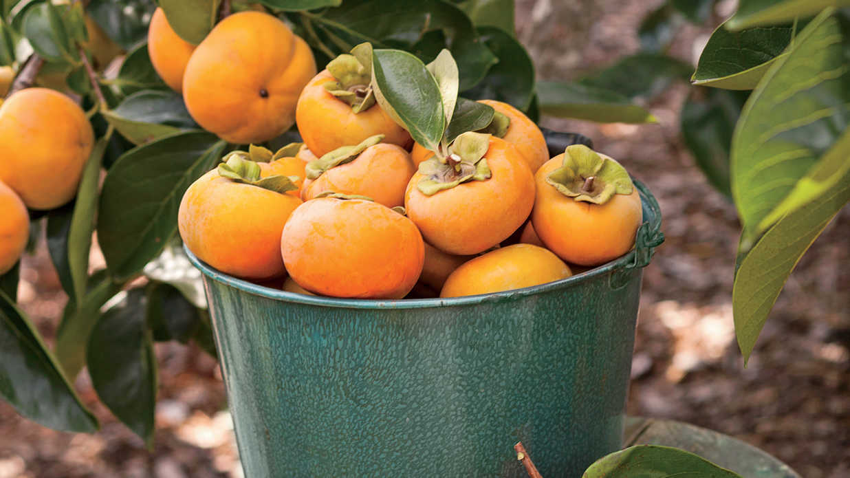 How To Grow Persimmons
