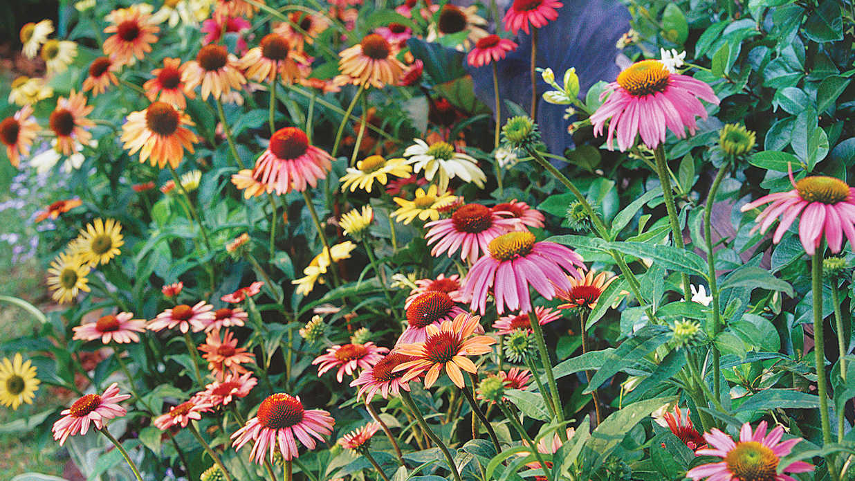 New Colors For Coneflowers Coneflowers