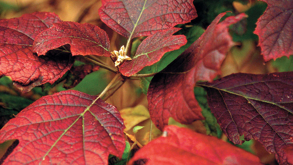 This Bush Blazes With Color in Autumn