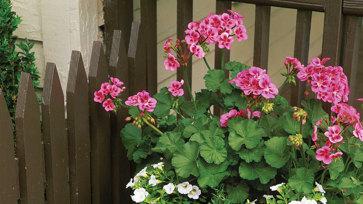 Plant Geraniums Containers