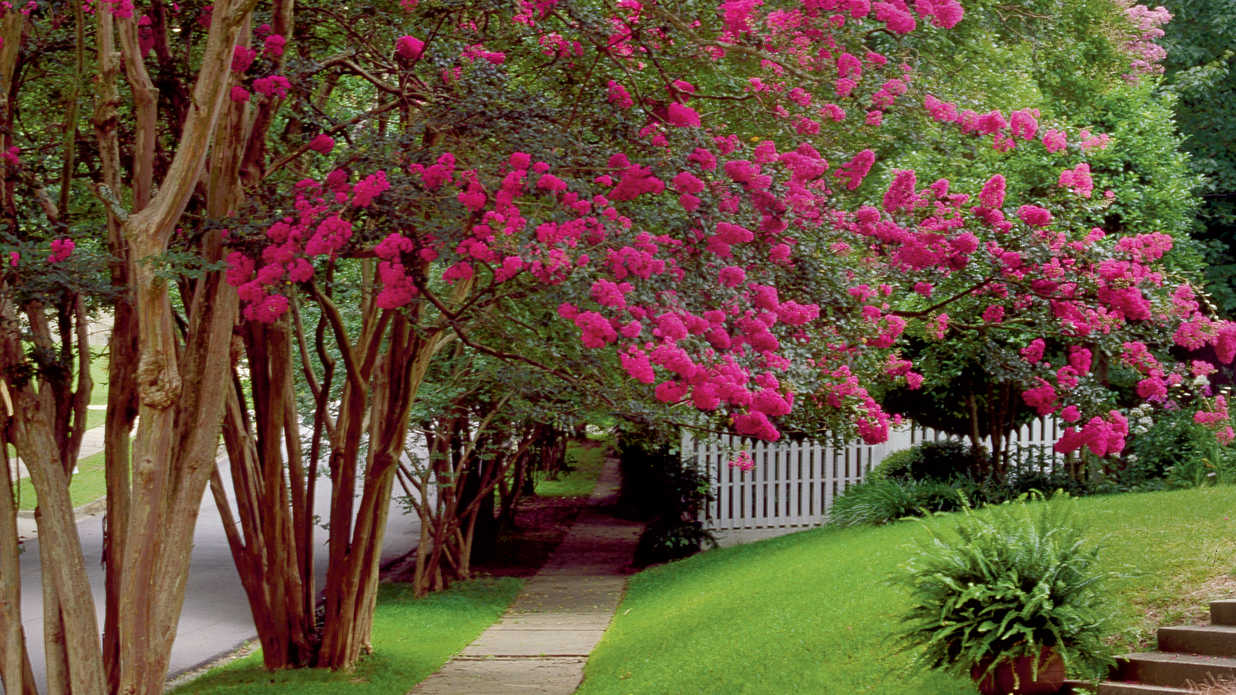 whats the main idea picture video - Beginner s Guide to Crepe Myrtle Care Southern Living