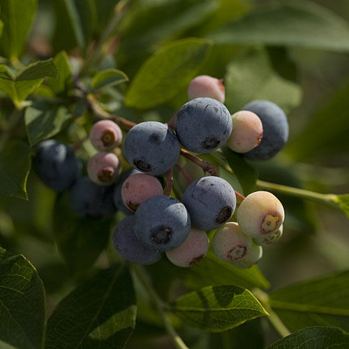 The Complete Guide to Blueberries: An Essential Southern Plant