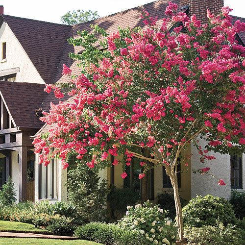 Crepe Myrtle: Essential Southern Plant