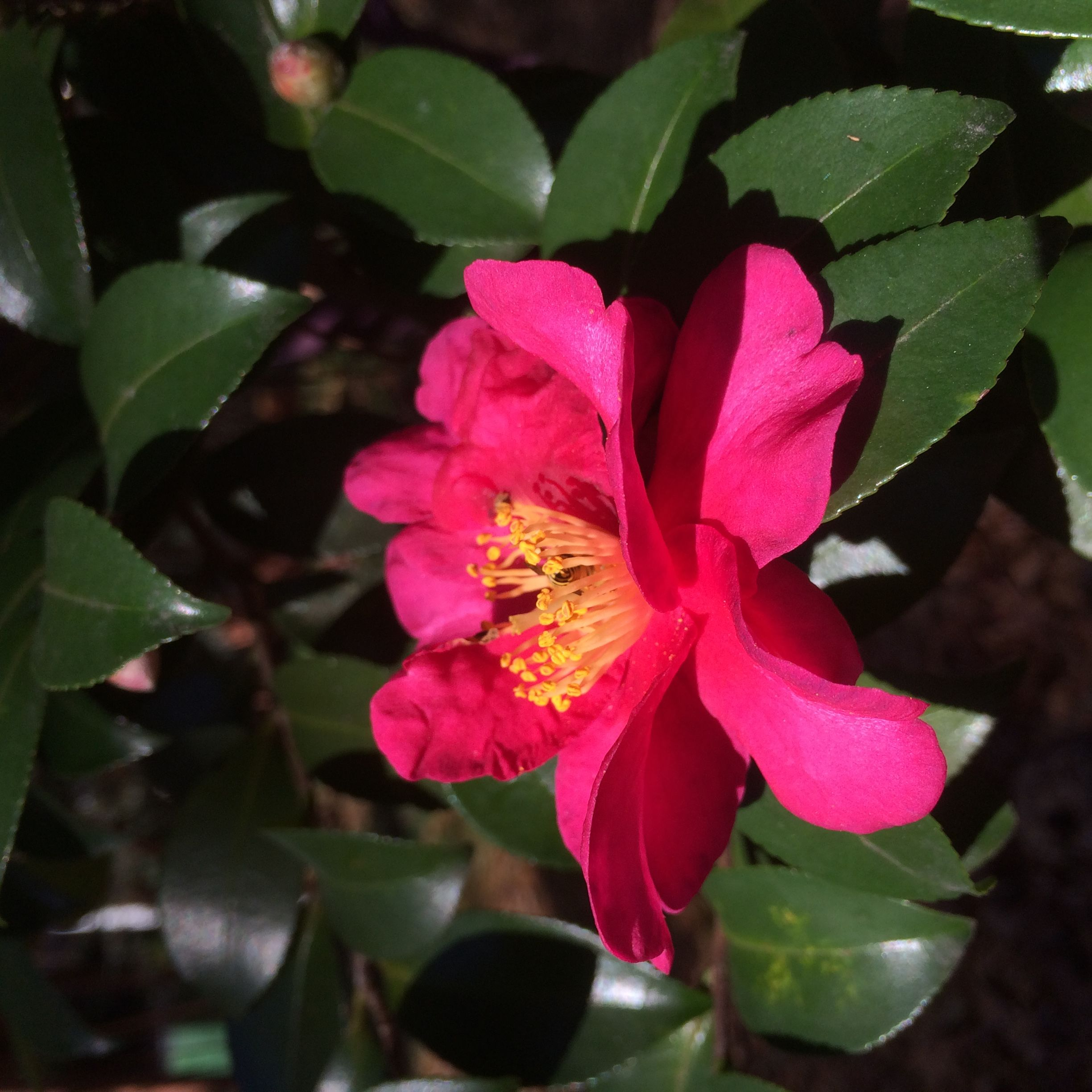 Two Months of Camellia Blooms—and It Ain't Done Yet