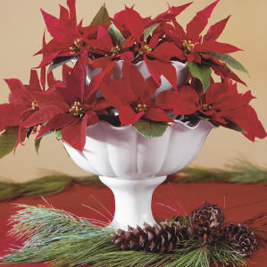 Myth Busted! Poinsettia Isn't Poisonous!