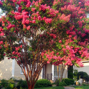 Question of the Week -- Why Hasn't My Crepe Myrtle Bloomed?