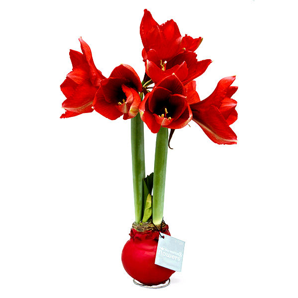 OMG! Look What They Did to This Amaryllis!