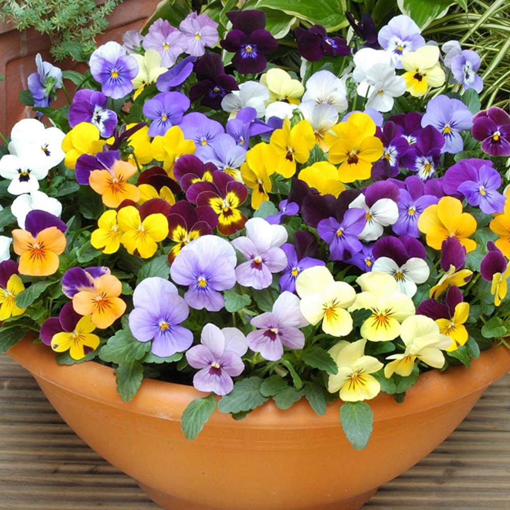 'Sorbet' Violas -- Sweet Treats for the Fall