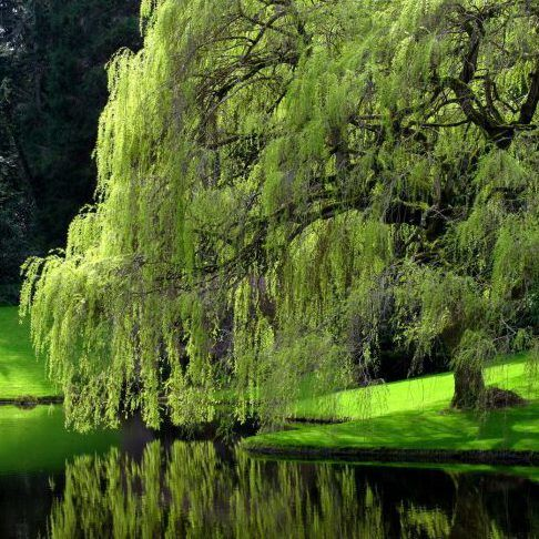 The Only Good Place For A Weeping Willow