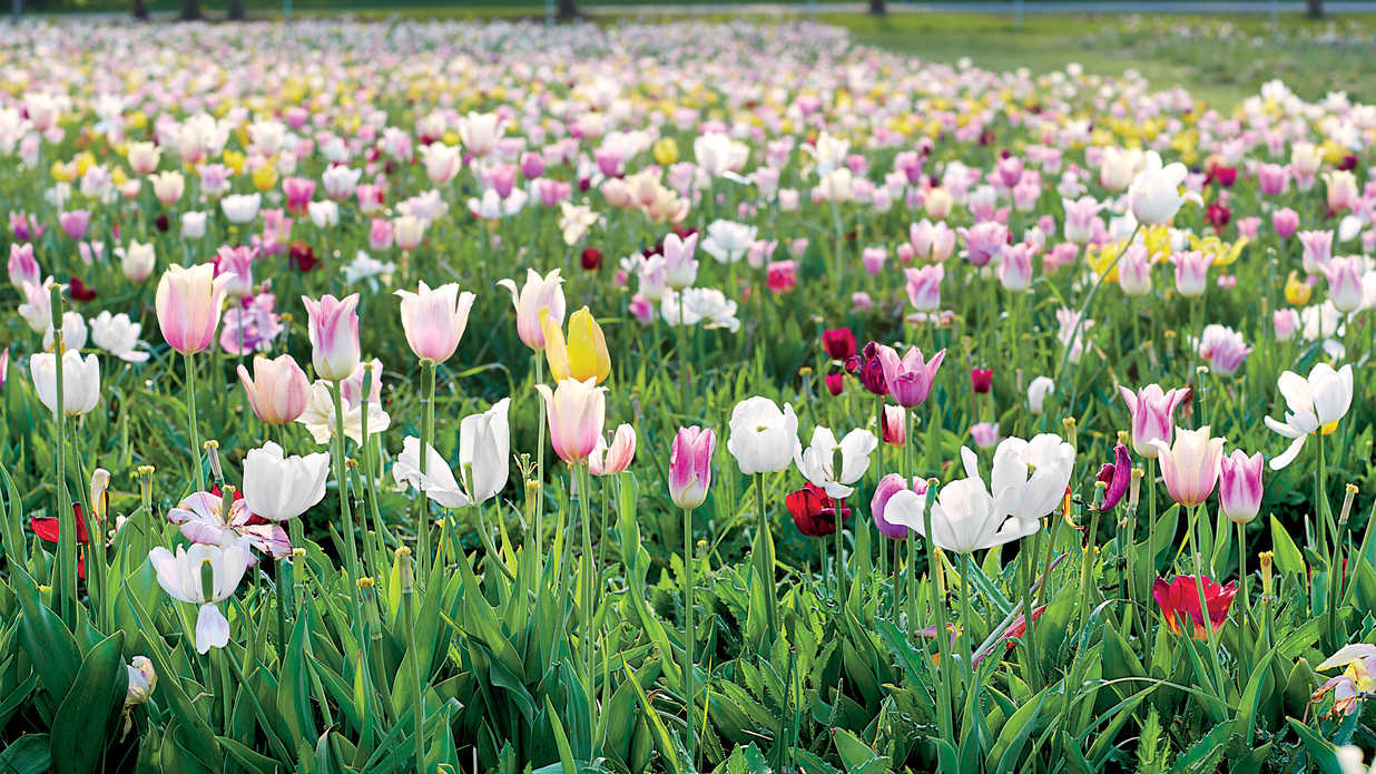 Tulips For The Picking Southern Living