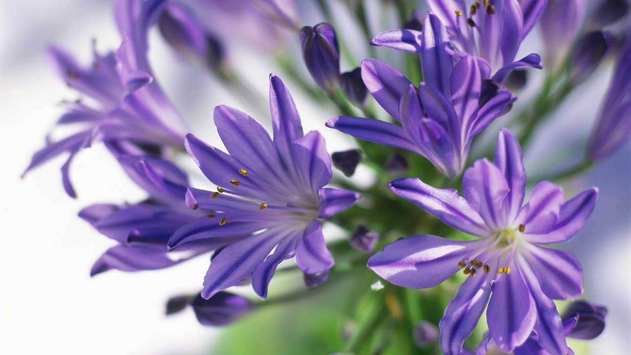 Lily of the nile agapanthus southern living izmirmasajfo