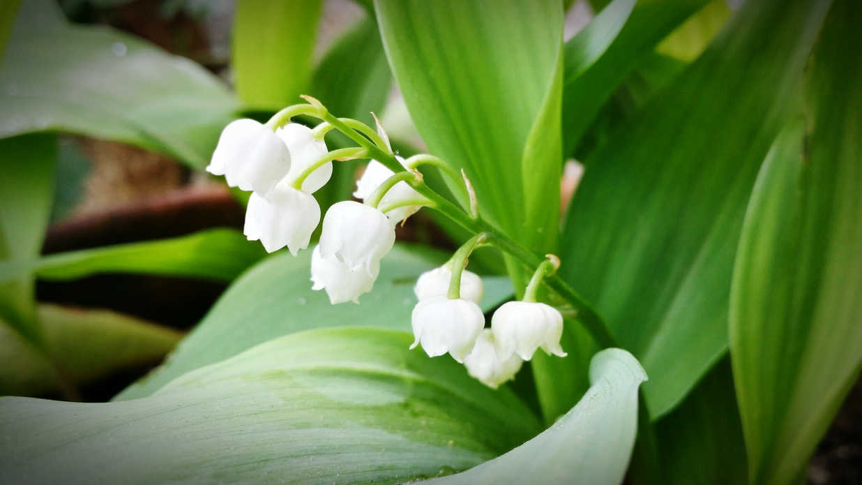 Lily Of The Valley Convallaria Majalis Southern Living