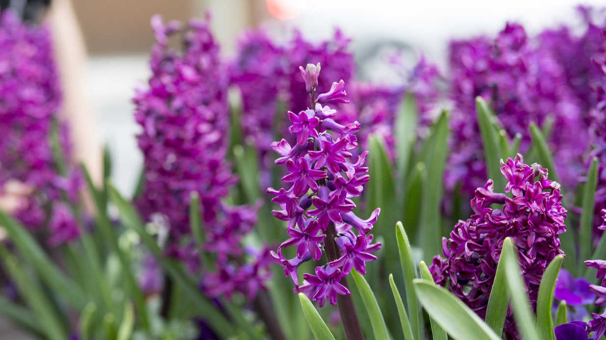 11 Pretty Purple Flowers to Plant in Your Garden