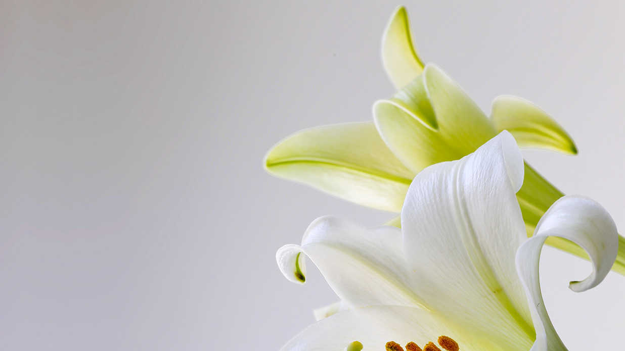 Everything You Need To Know About The Easter Lily Southern Living
