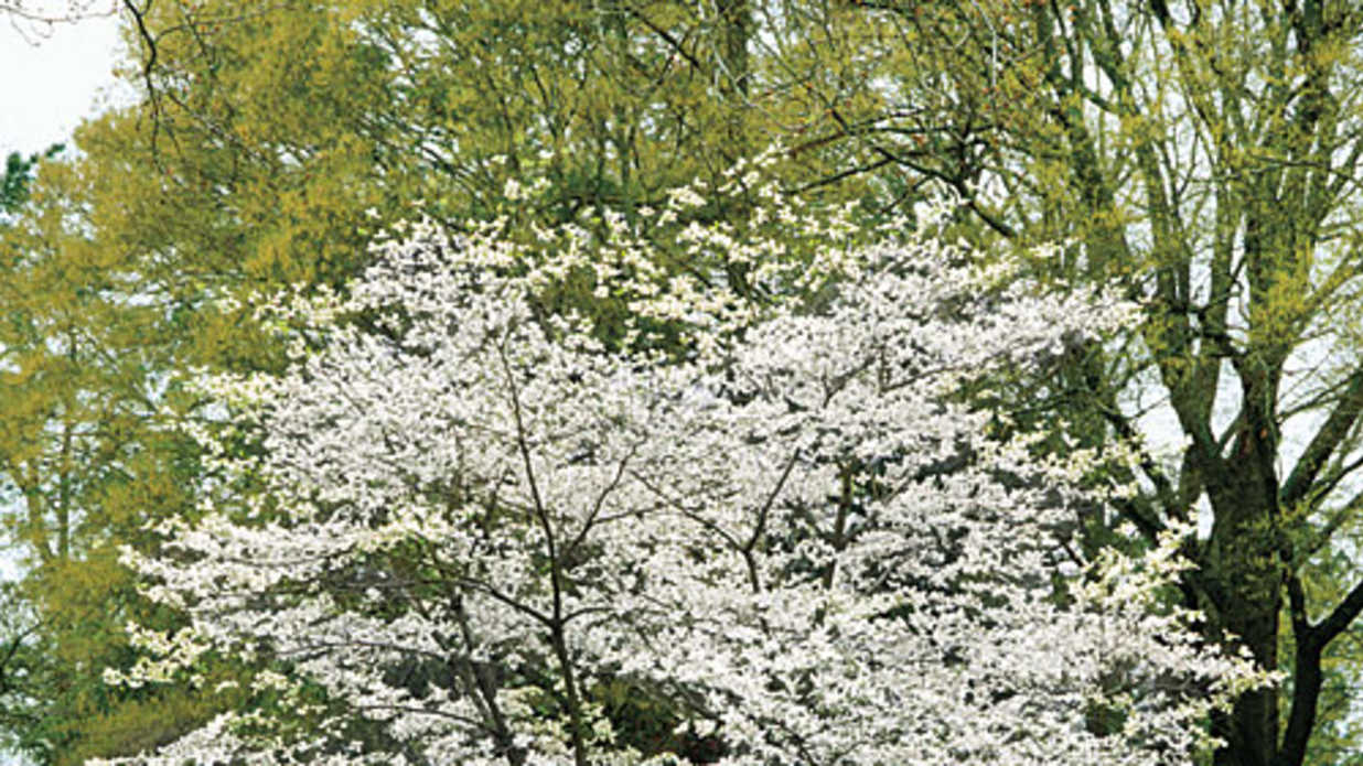 The Complete Guide to Essential Southern Plants: Dogwoods - Southern ...
