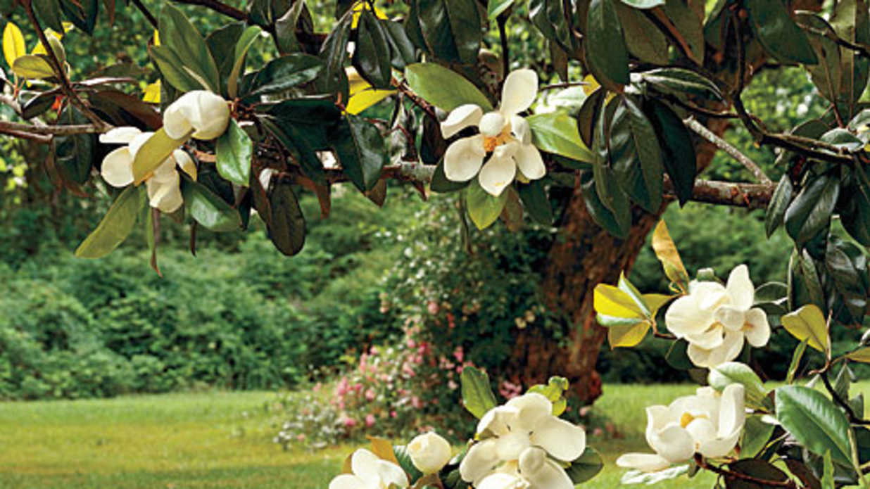The Complete Guide To Essential Southern Plants Magnolia Tree