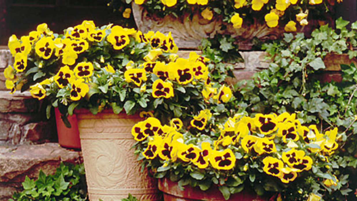 22 Ways to Use Pansies & Violas in Containers