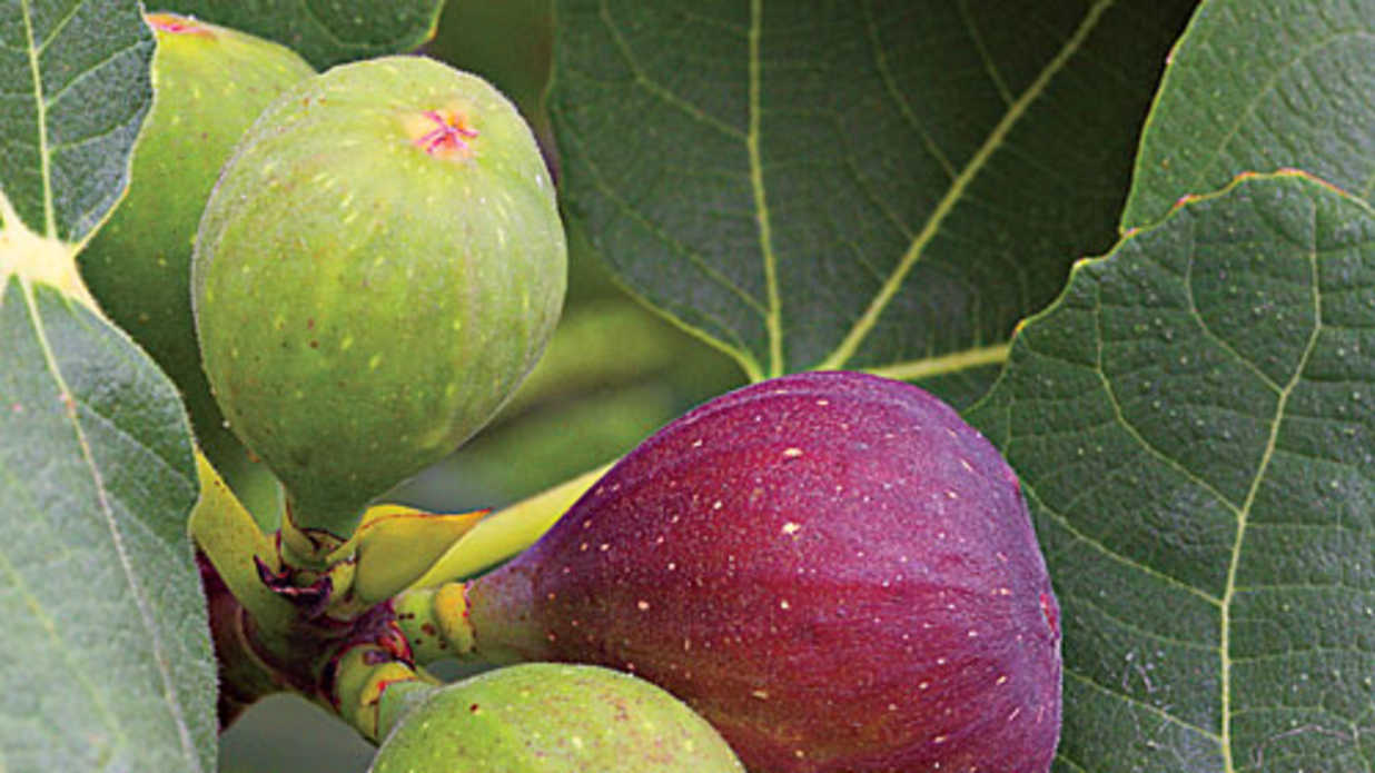 How To Grow Fig Trees Southern Living