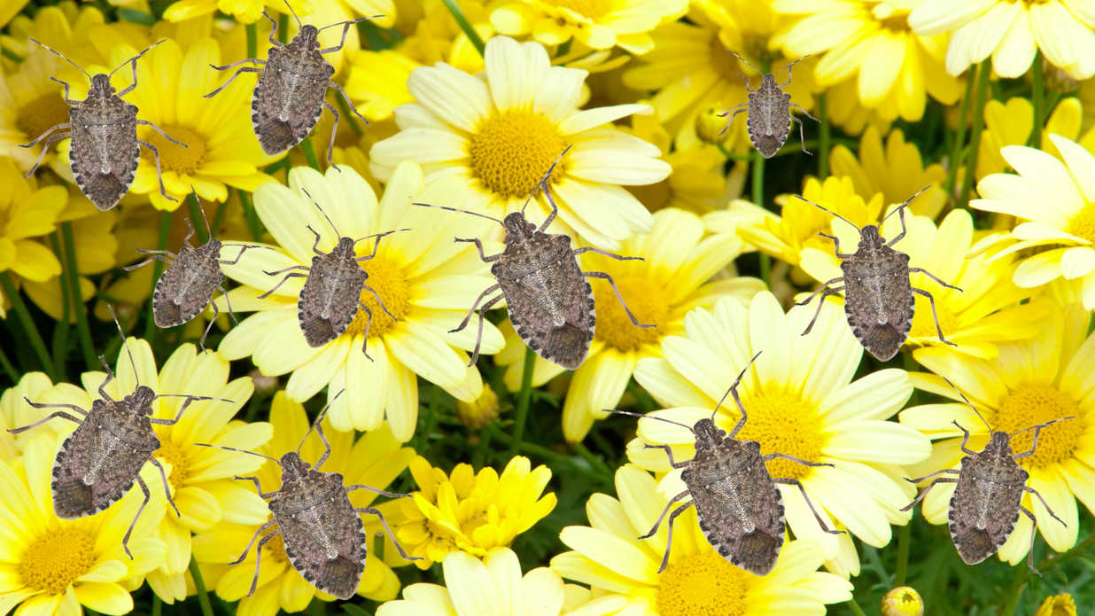 How to get rid of stink bugs southern living - How to get rid of stink bugs in garden ...