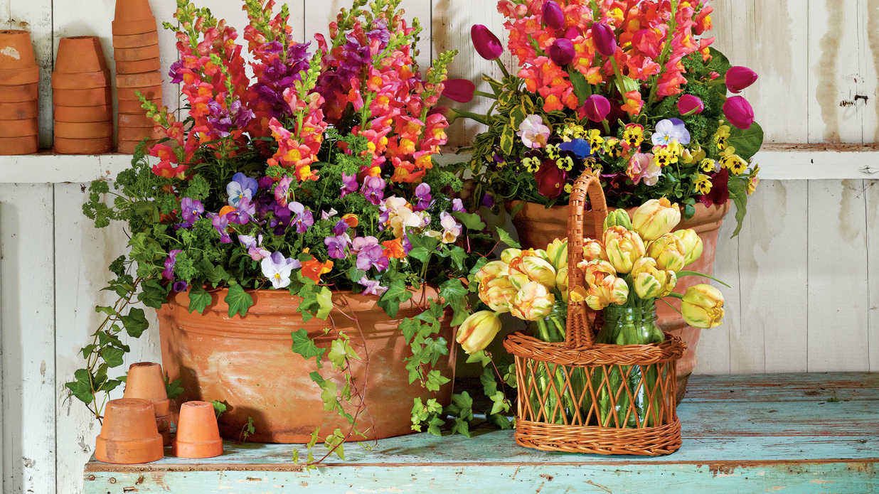 Snapdragons Penny Violas Tulips Parsley And Ivy