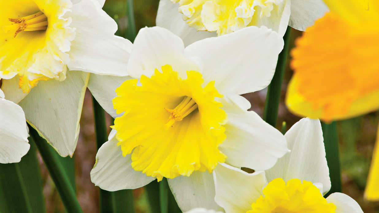 Find Your Favorite Daffodil