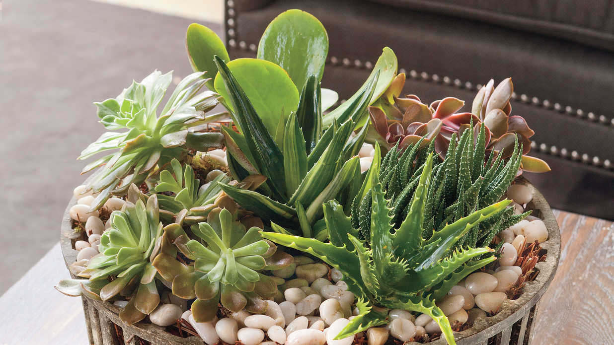 Succulents best indoor houseplants southern living - Best indoor succulents ...