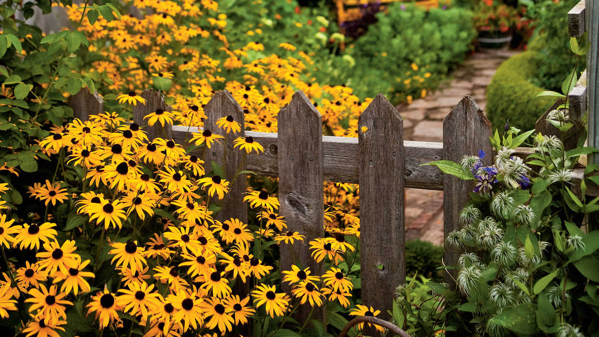 Perennial Winner: Black-Eyed Susan Flower - Southern Living