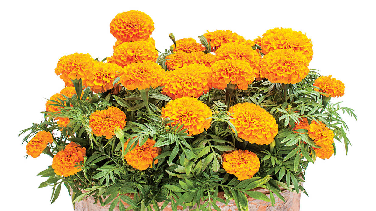 Sunny Marigolds Fall Container Gardening Ideas Southern Living