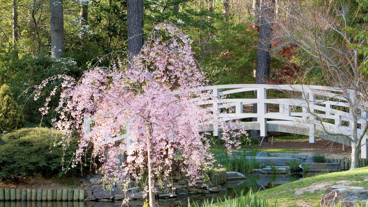 Weeping cherry growing cherry blossoms southern living for Weeping trees for small gardens