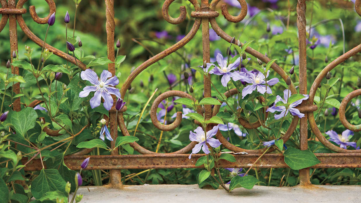 Flowering Plants Clematis Blooms On A Vine Southern Living