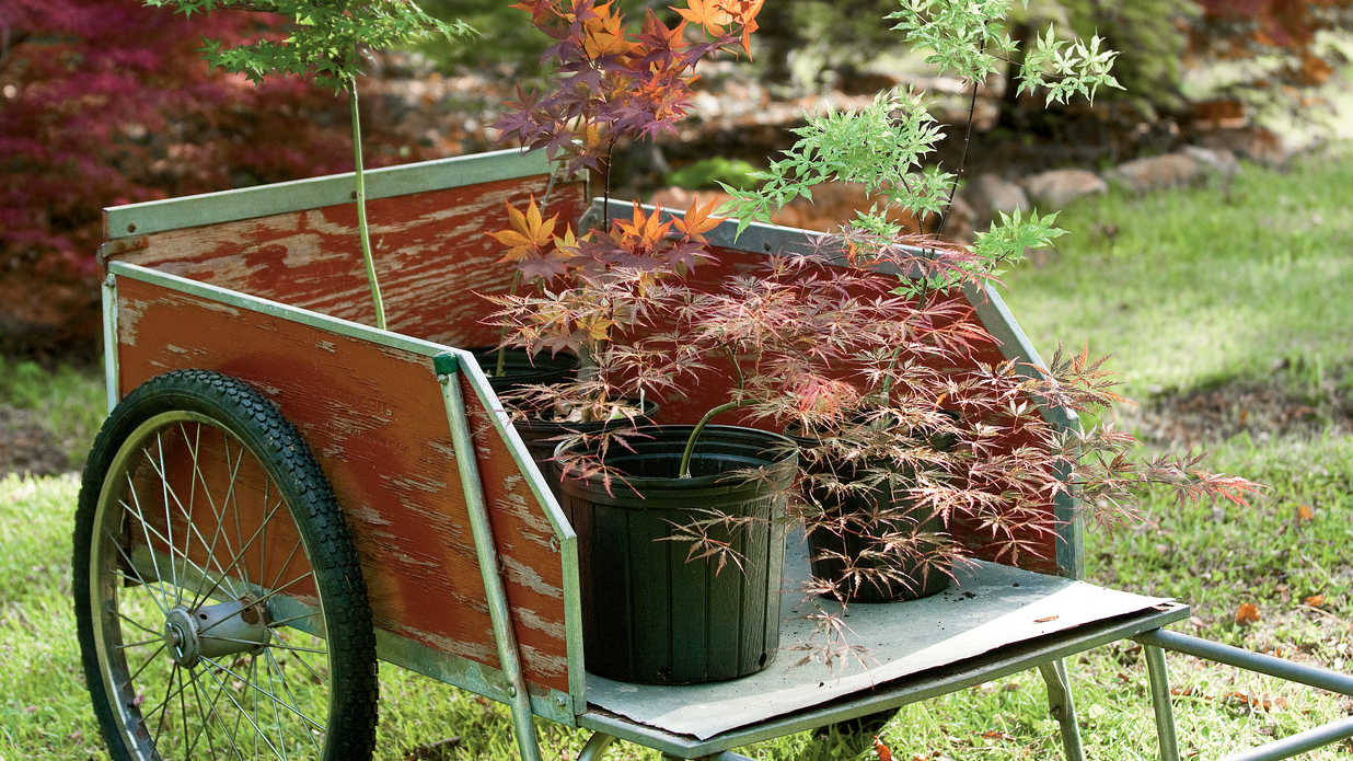 How To Plant a Japanese Maple Tree