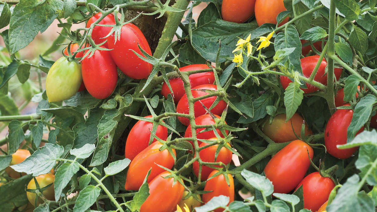 Grow Tiny, Tasty Tomatoes
