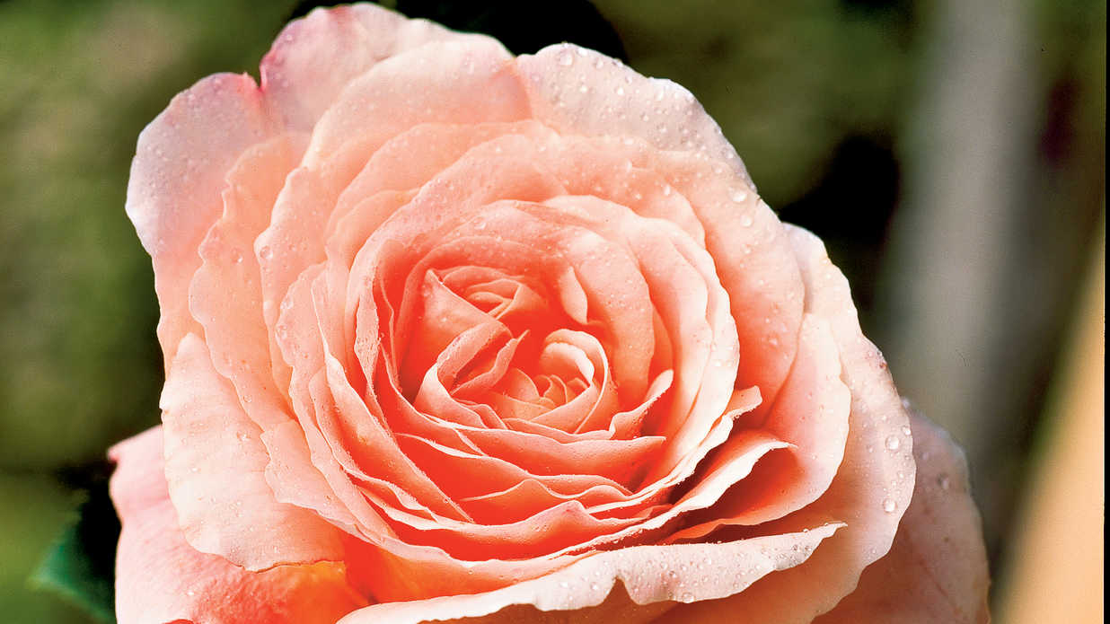 9 Dazzling Types of Roses