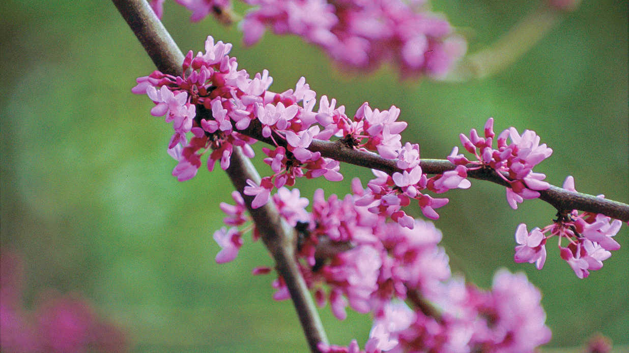 The Complete Guide To Redbuds Southern Living