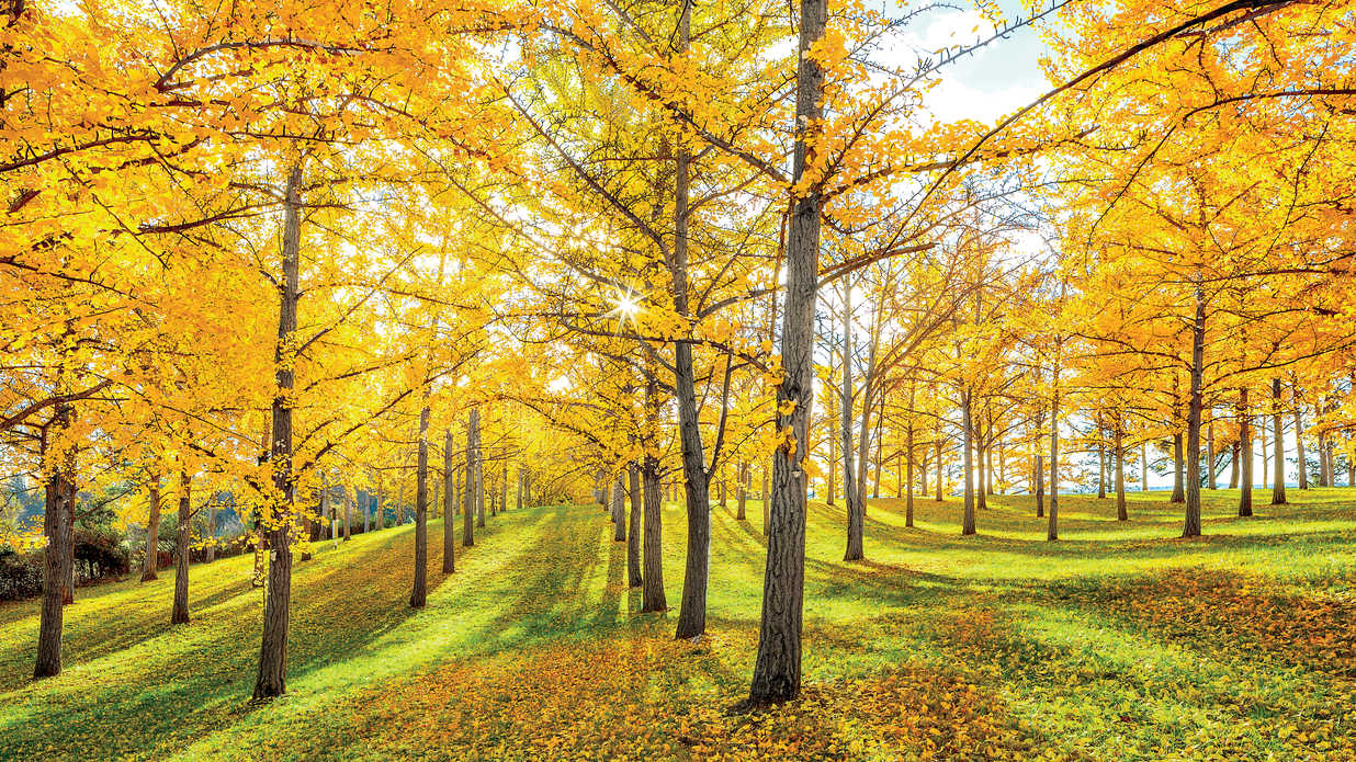 the golden trees of fall