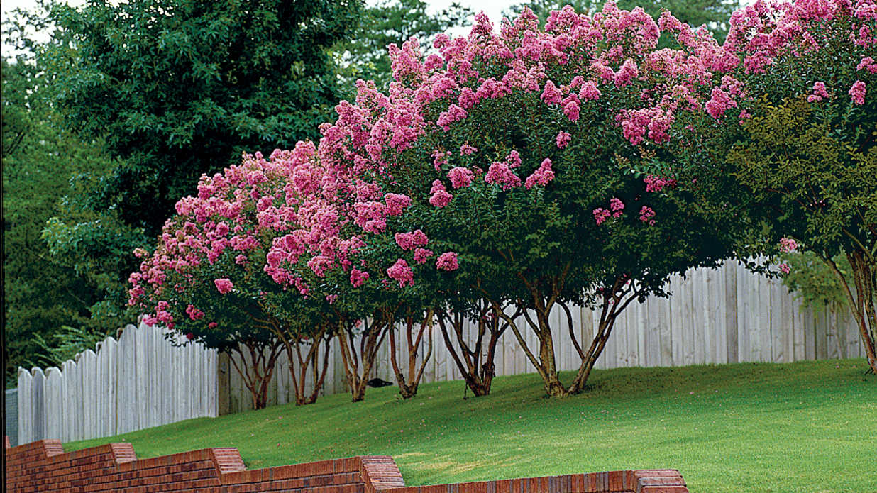 Crepe myrtle pruning tips southern living for Popular small trees
