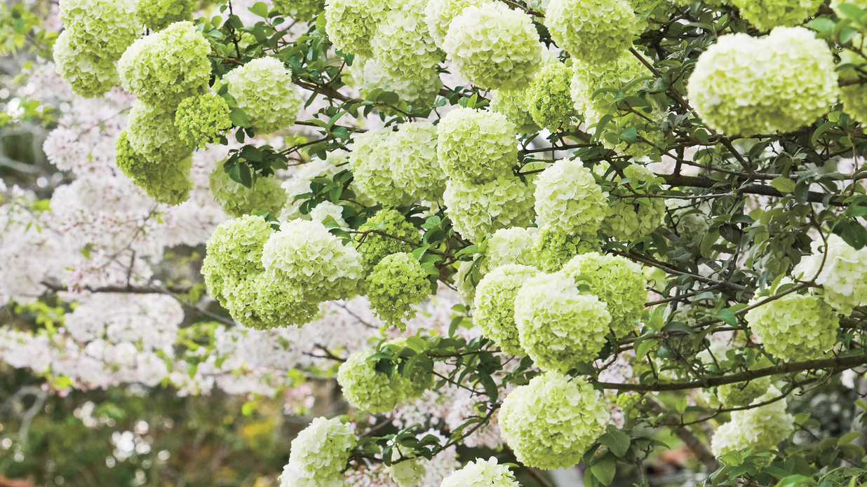How to Grow Snowball Trees foto
