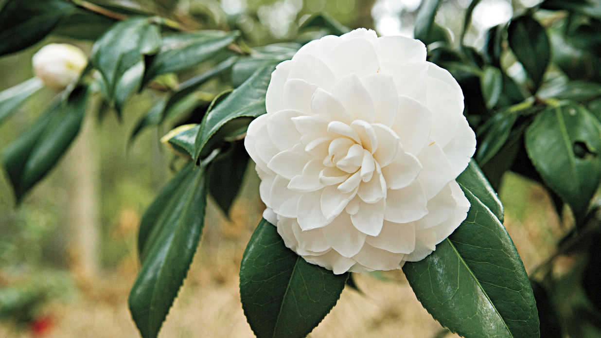 The complete guide to camellias southern living dhlflorist Gallery