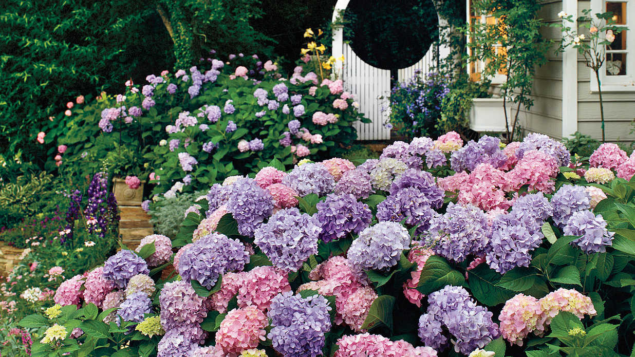 The complete guide to hydrangeas southern living - Flowers planted may complete garden ...