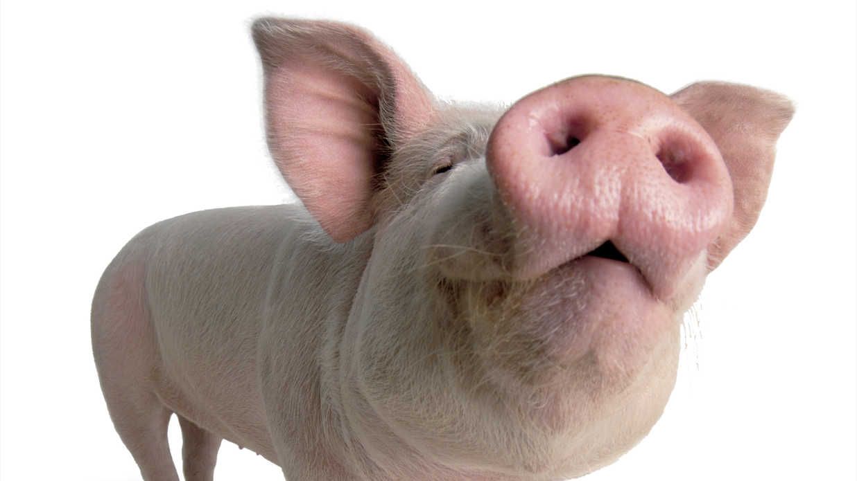 our favorite southern pig names southern living