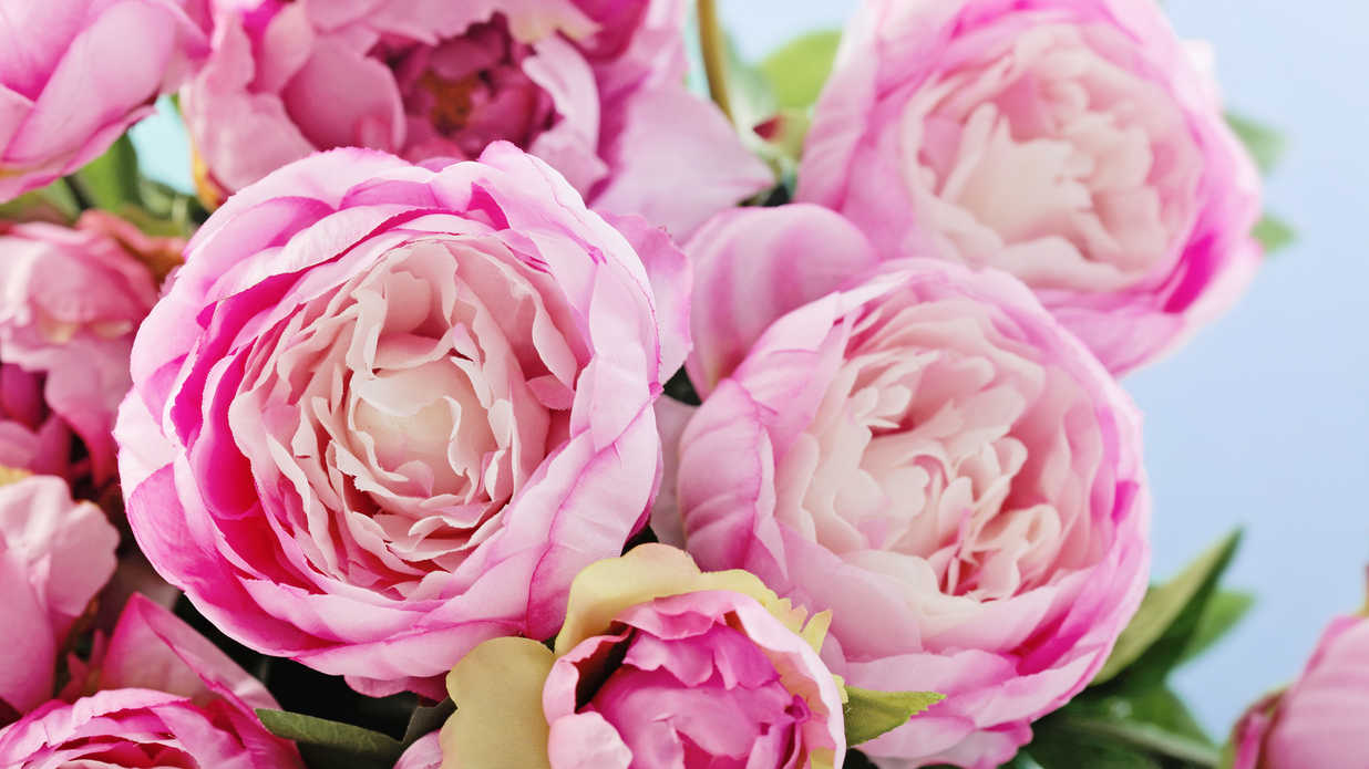 WATCH: 12 Surprising Facts All Peony Enthusiasts Should Know