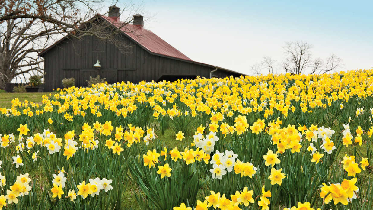 4 Reasons Why Your Daffodil Bulbs Aren't Blooming