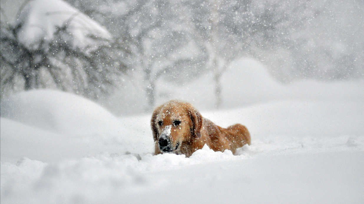 These Fluffy Goldens Frolicking in the Snow Are Having the Best. Day. Ever.